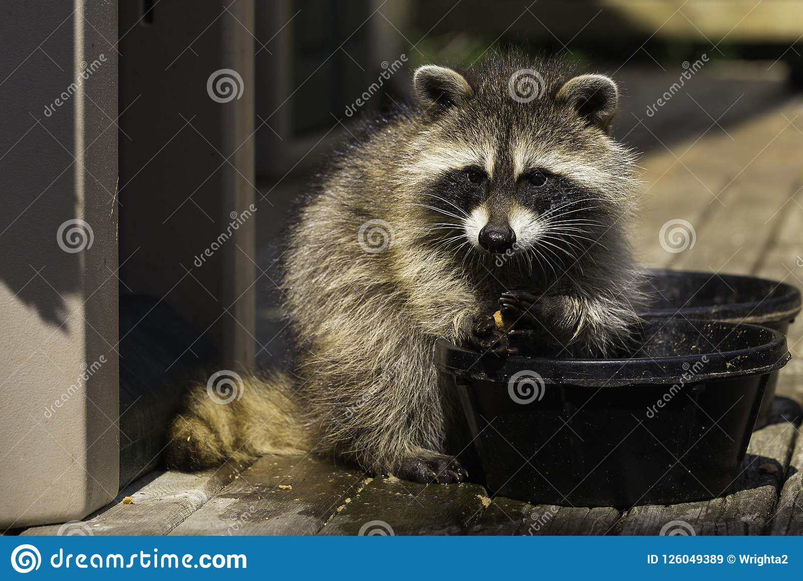 Young Raccoon Washing His Food Before Eating It Stock Image Image
