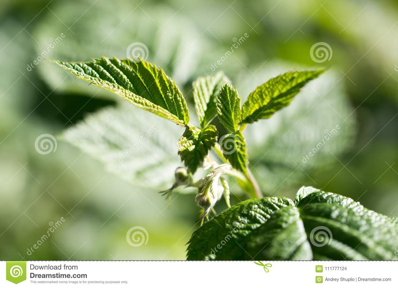 Young raspberry leaves in nature