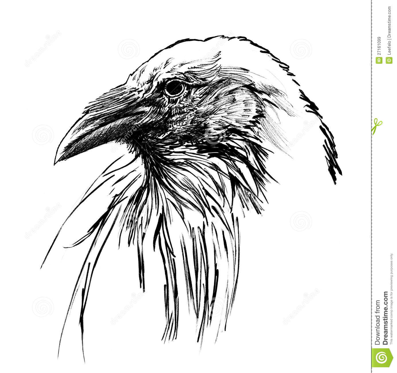 Line Drawing Raven : Young raven head stock illustration image of birds