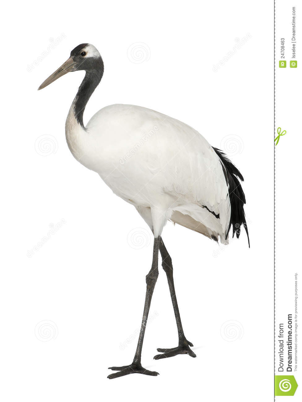 Young Red crowned Crane Grus Japonensis Also Called The Japanese