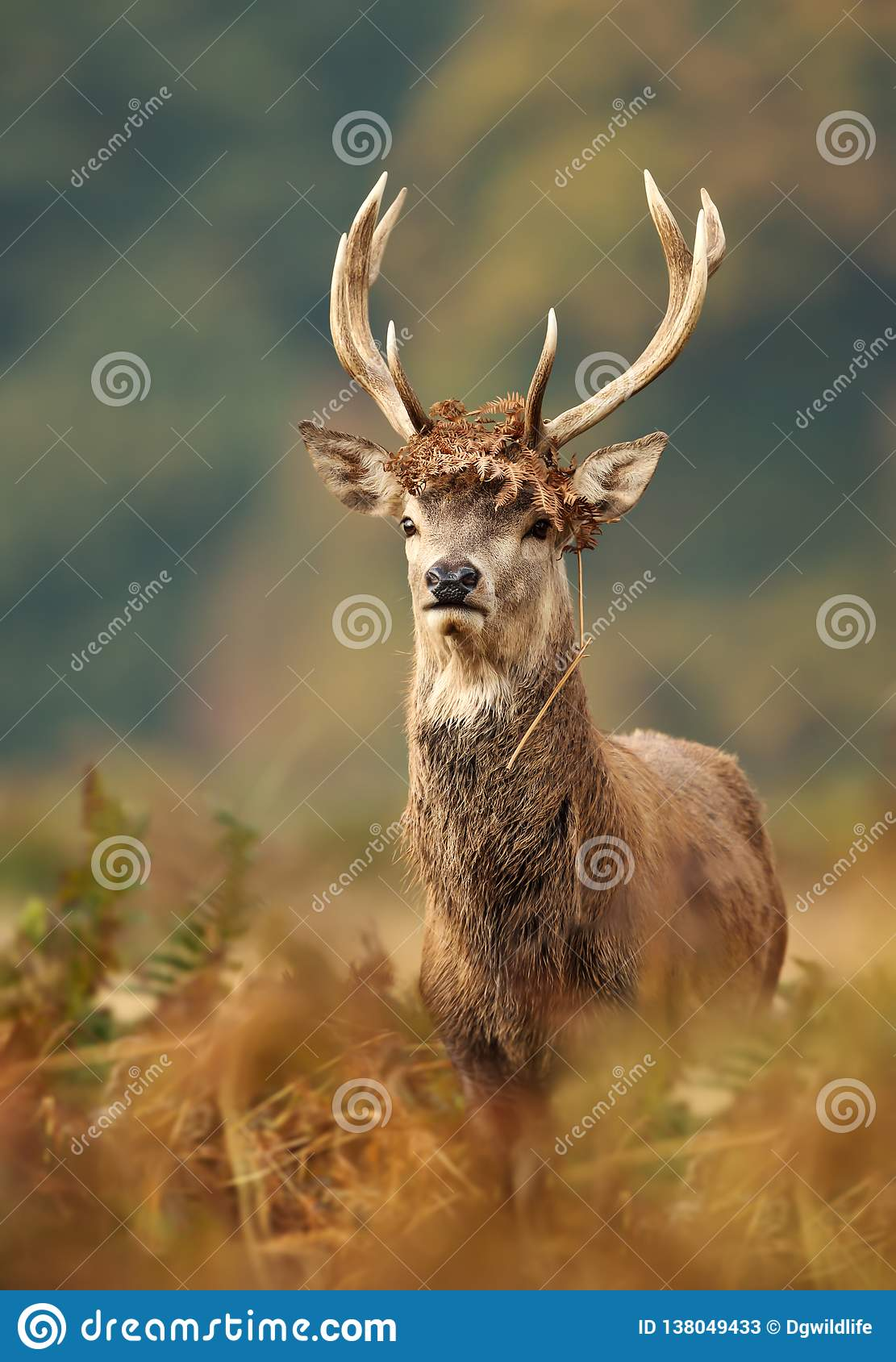 Young red deer with brown fern on antlers