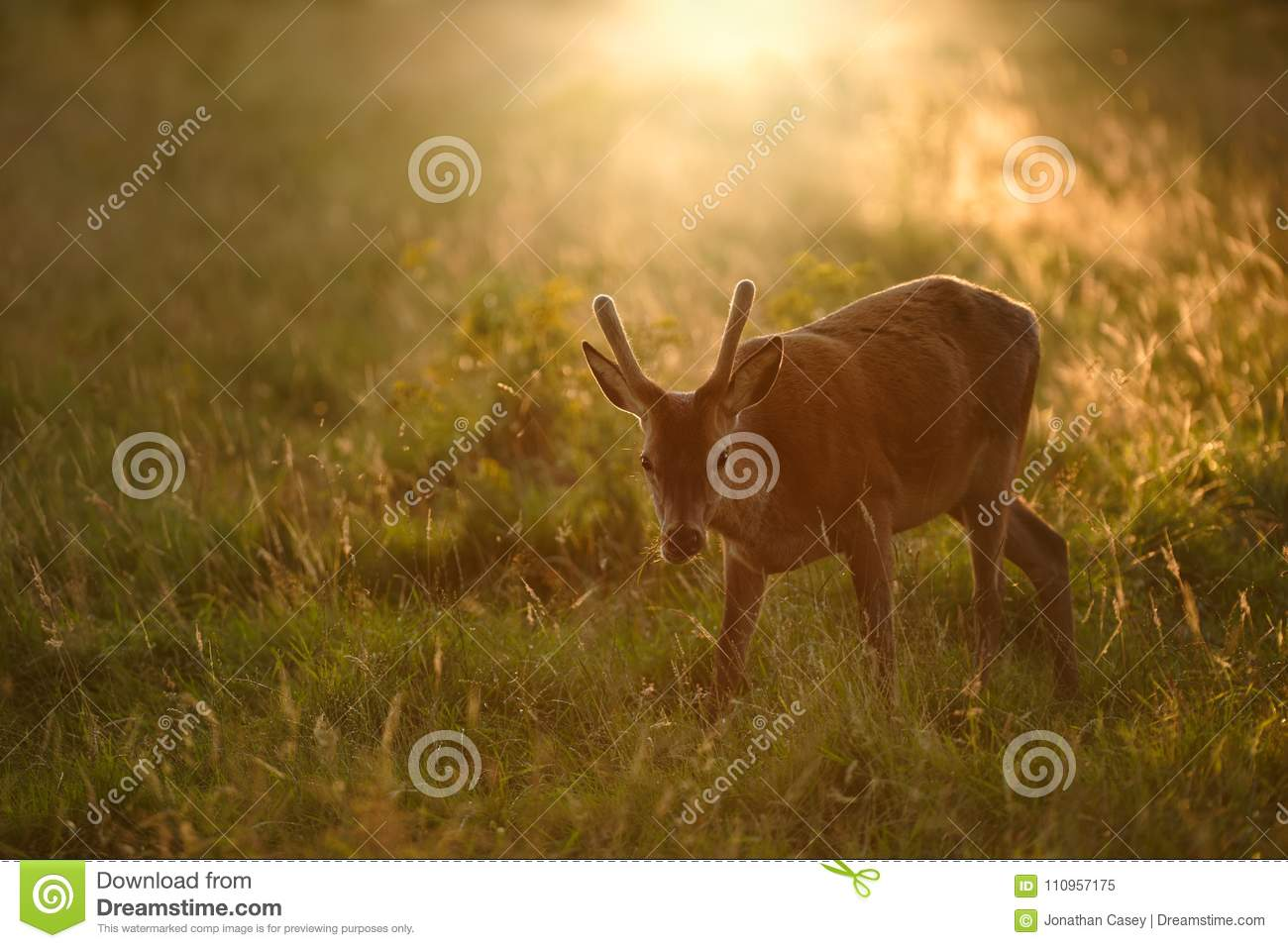 Young Red Deer stag at Sunset