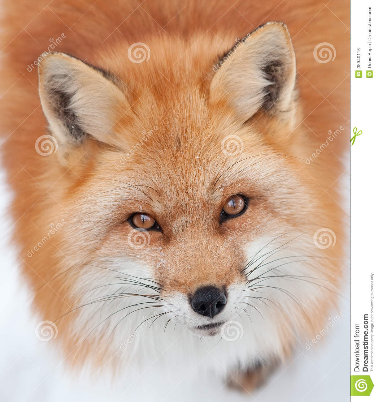 Young Red Fox Looking Up At The Camera Stock Photo - Image ...