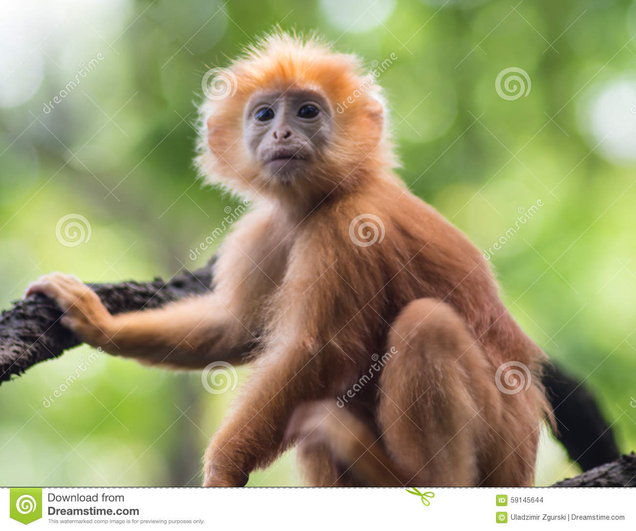 young red monkey on a tree stock photo image 59145644. Black Bedroom Furniture Sets. Home Design Ideas