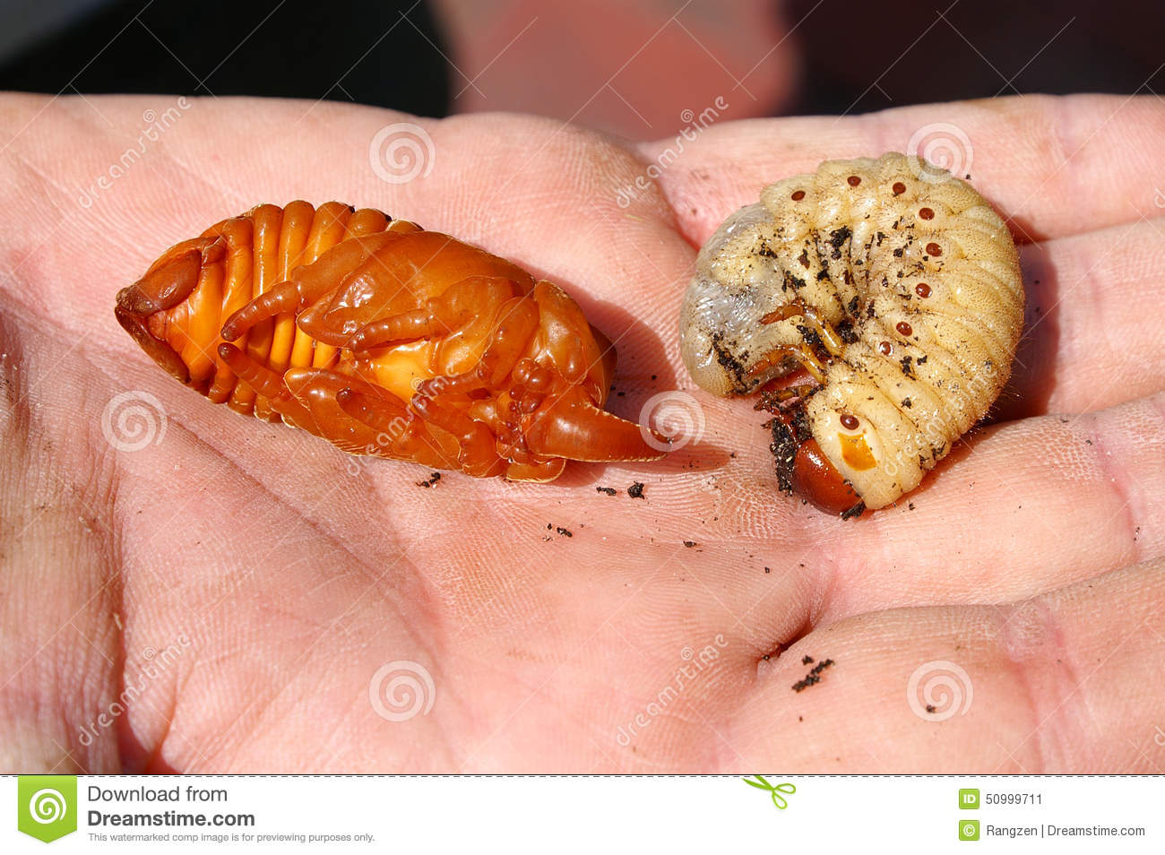 young rhinoceros beetle and larvae stock image image of heap male
