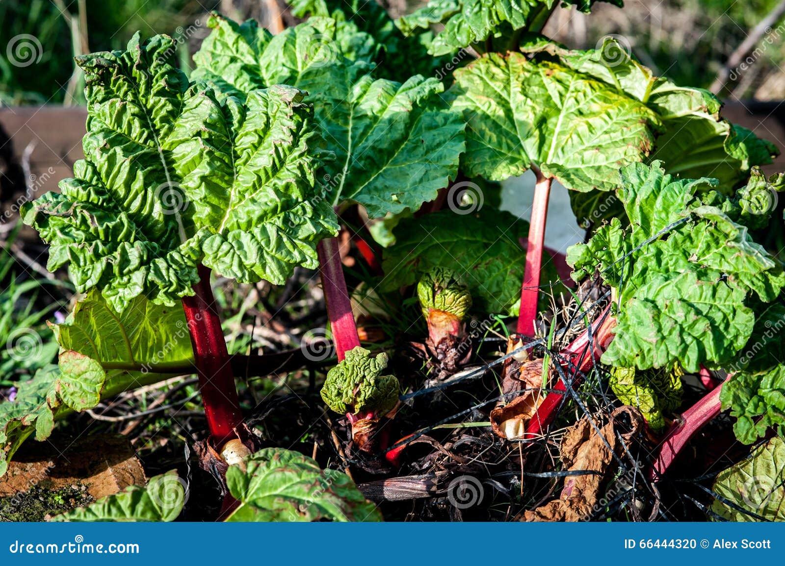 Young rhubarb shoots
