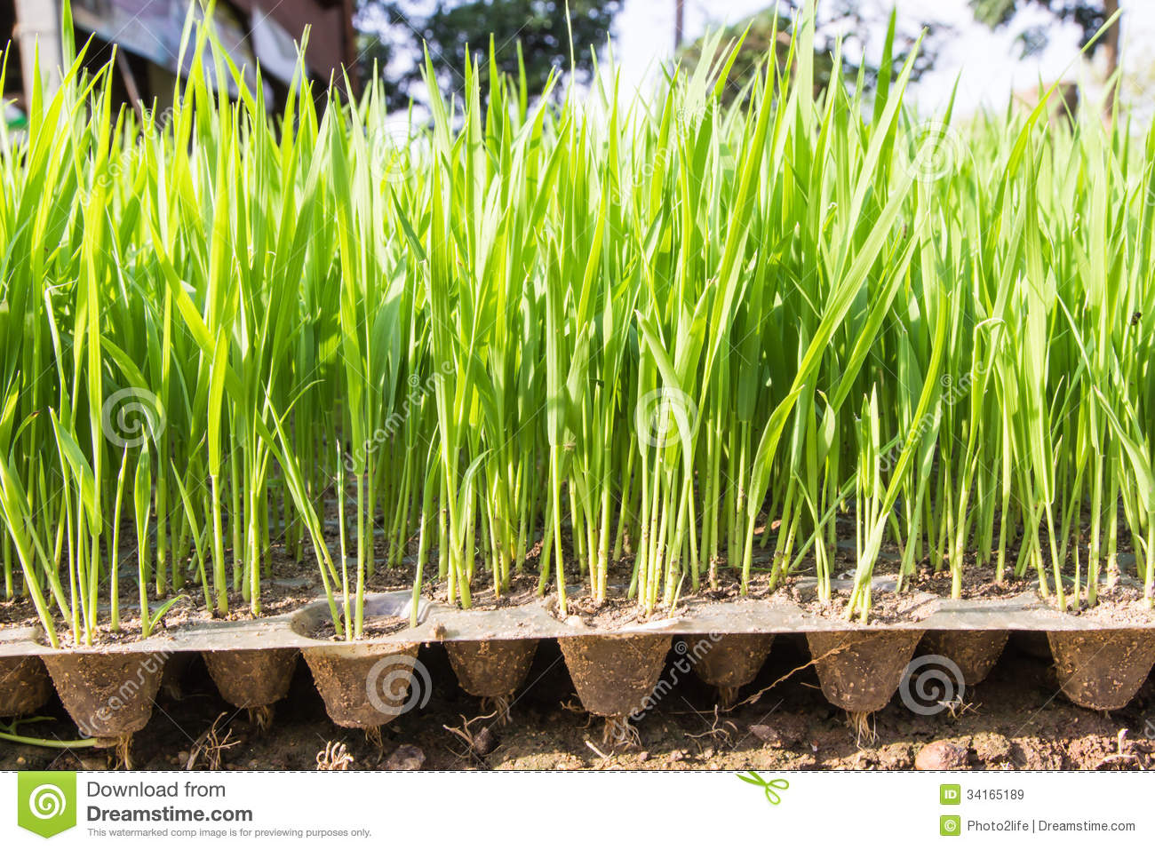 how to grow rice in victoria