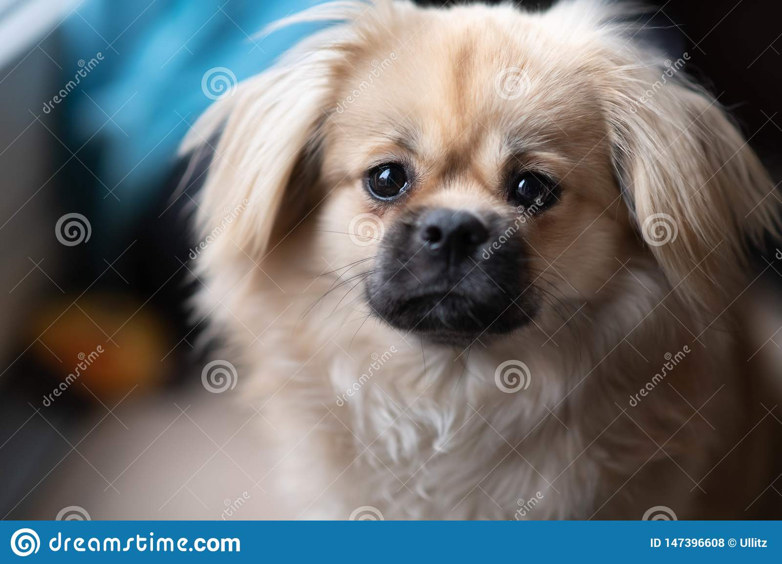 42 Young Tibetan Spaniel Photos Free Royalty Free Stock Photos From Dreamstime