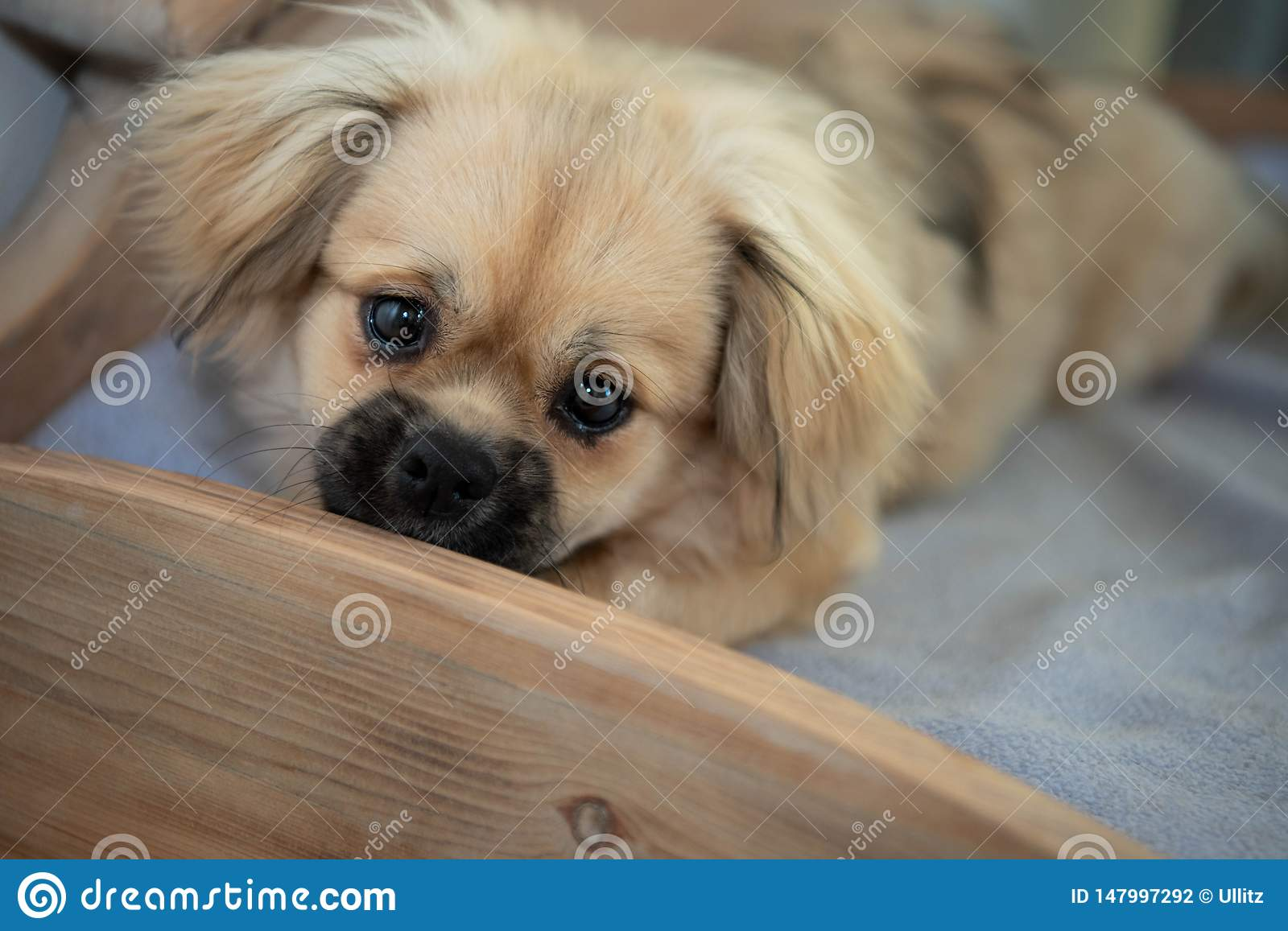 Young Sabel Tibetan Spaniel Puppy Laying In A Wooden Homemade Dog Bed With Big Puppy Eyes Stock Photo Image Of Part Spaniel 147997292