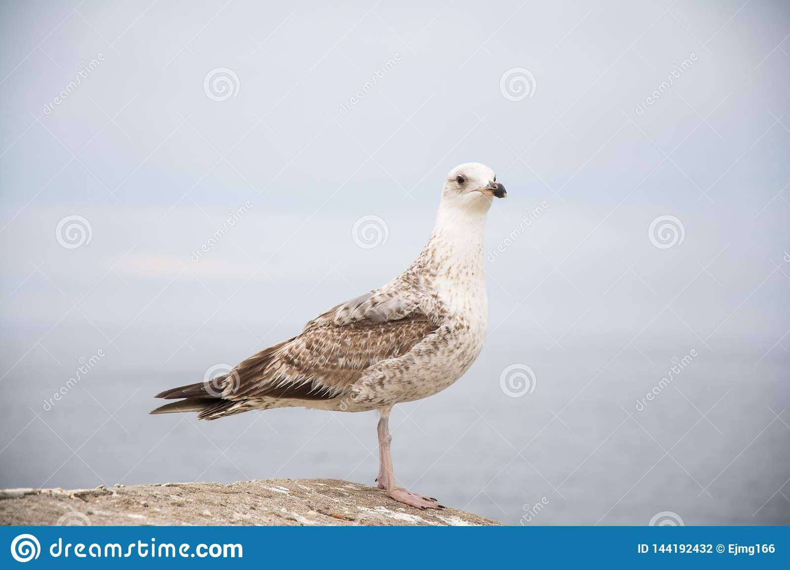 Young seagull in a rock