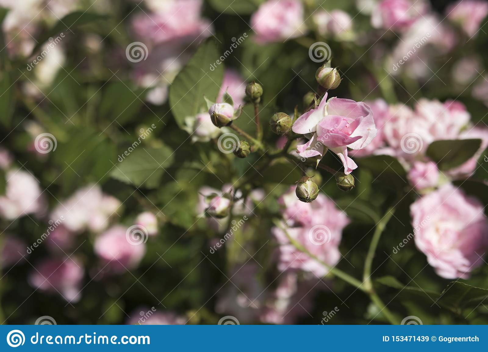 Young shoots of dwarf pink rose in the garden in summer with a blurred background