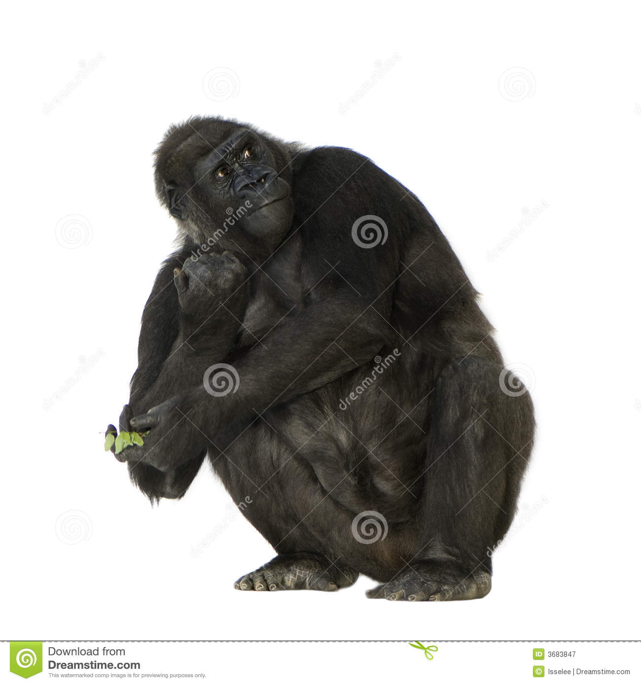 Young Silverback Gorilla stock image. Image of wildlife - 3683847 a248ff8ac79