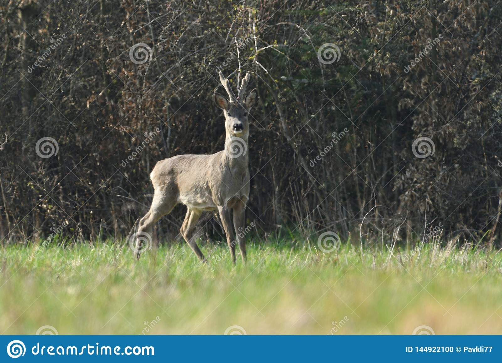 Roe deer with antler walking and grazing grass inside the forest