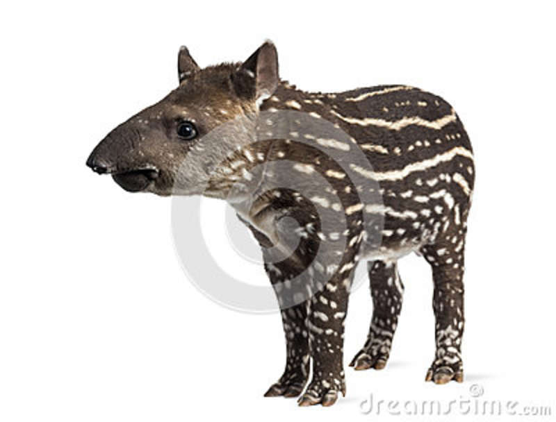 Young South american tapir, isolated, 41 days old