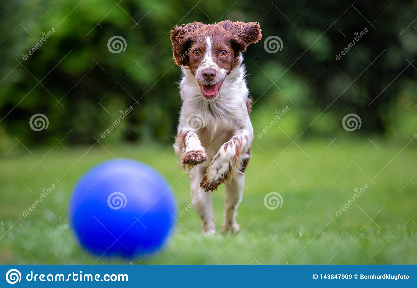 Young Springer Spaniel chasing a blue ball