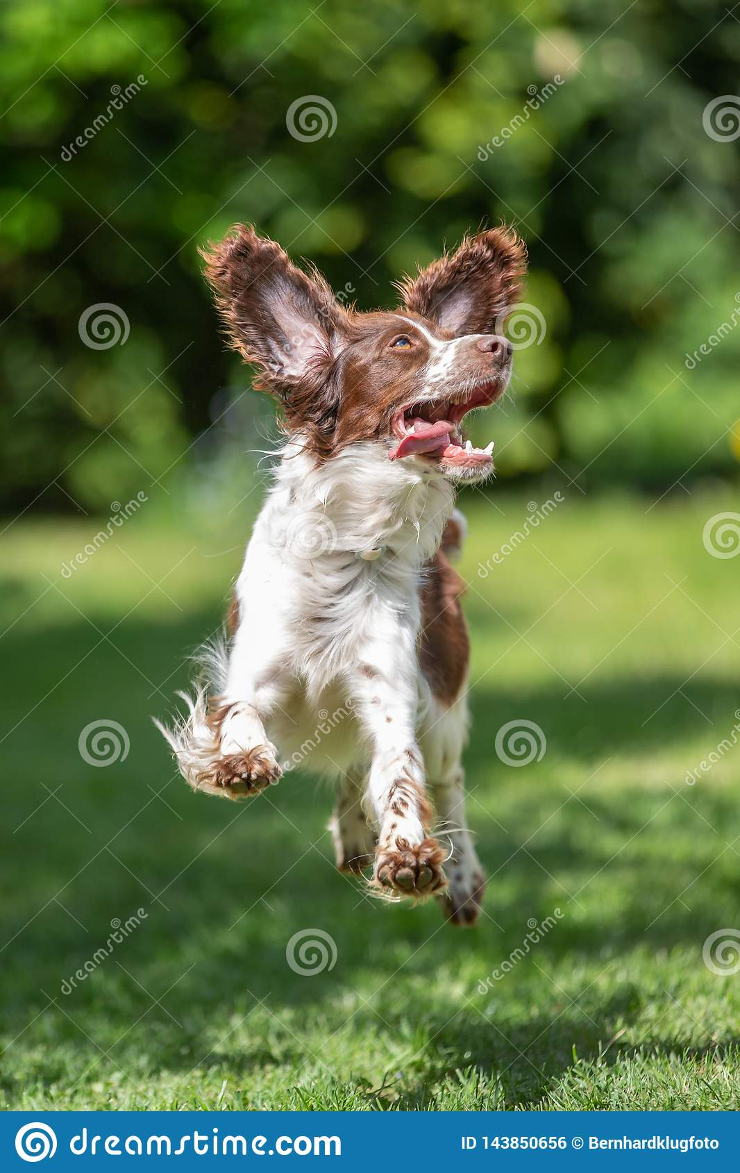 Young Springer Spaniel Jumping for Joy with Flying Ears Stock Photo - Image  of funny, excitement: 143850656