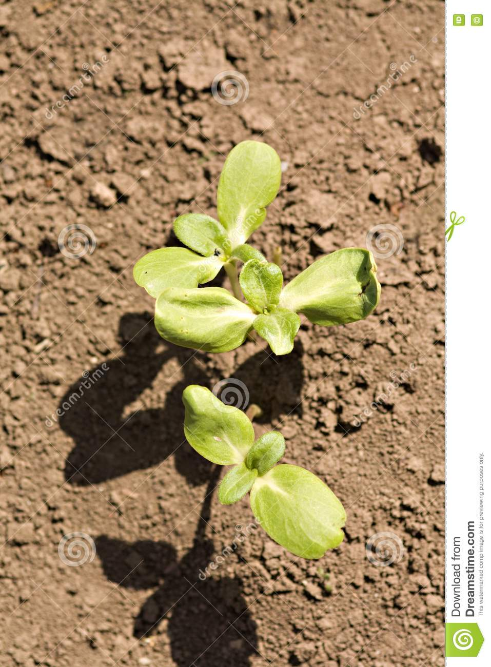Young sprouts in the soil royalty free stock photo image for Soil young s modulus