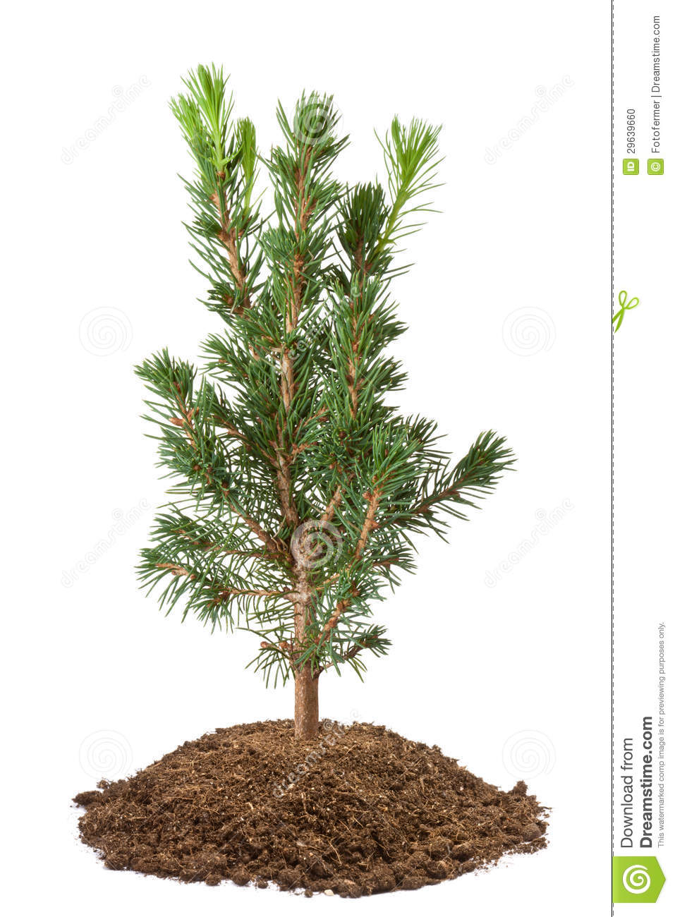 Young spruce sapling stock photo image 29639660 for Tree sapling