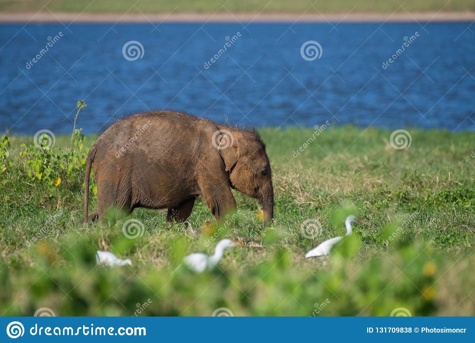 Young Sri Lankan Elephant, Elephas maximus maximus is walking in the typical habitat. It is eating the grass, in the background is