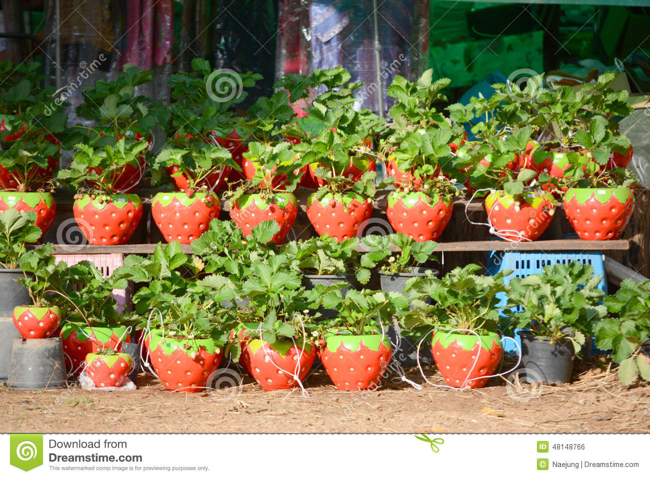how to grow strawberry plants in pots