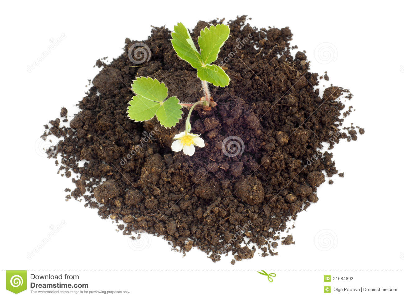 Young strawberry plant in soil stock photography image for Soil young s modulus