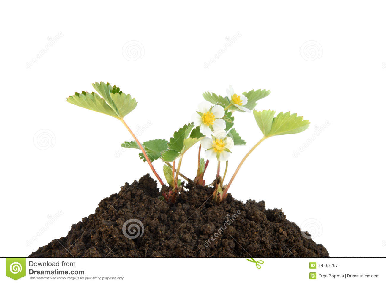 Young strawberry plant in soil royalty free stock for Soil young s modulus