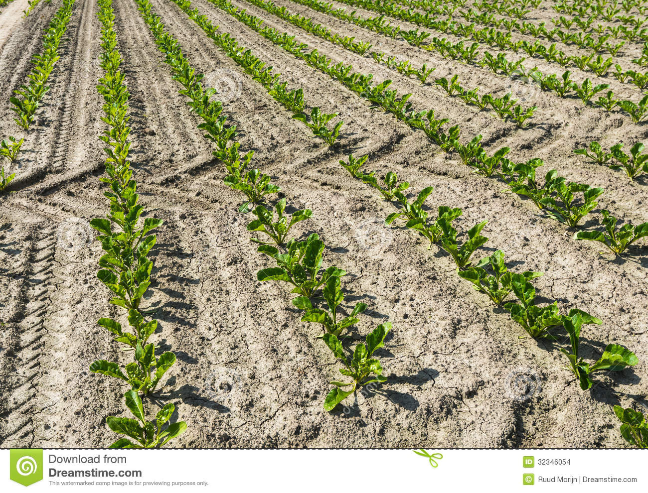 Young sugar beet plants in springtime stock photo image for Soil young s modulus