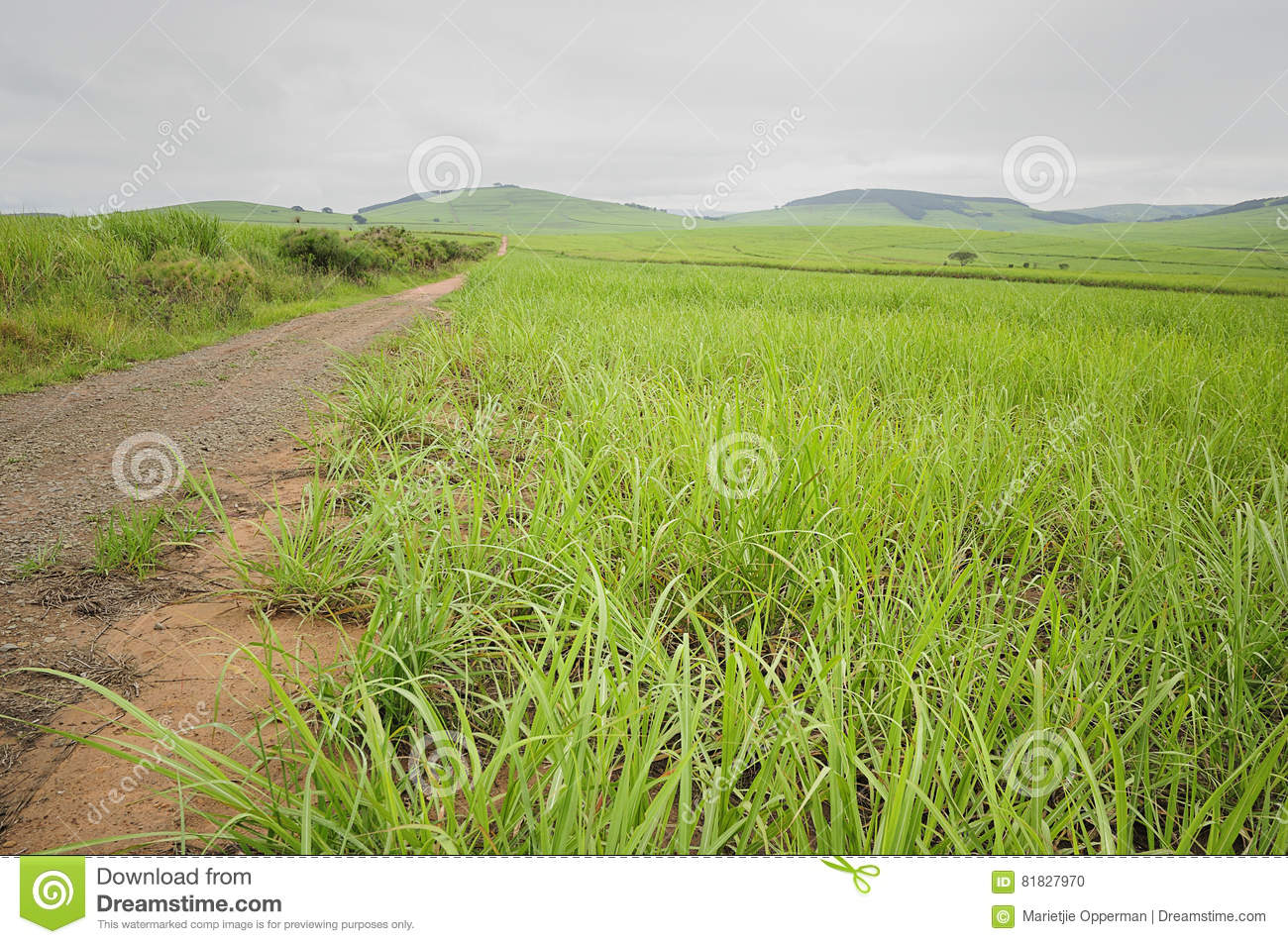 Young sugar cane plants