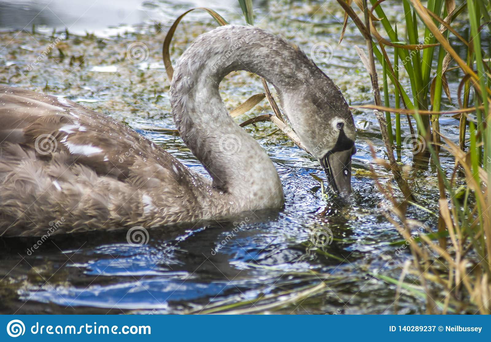 Young Swan feeding in reeds of lake