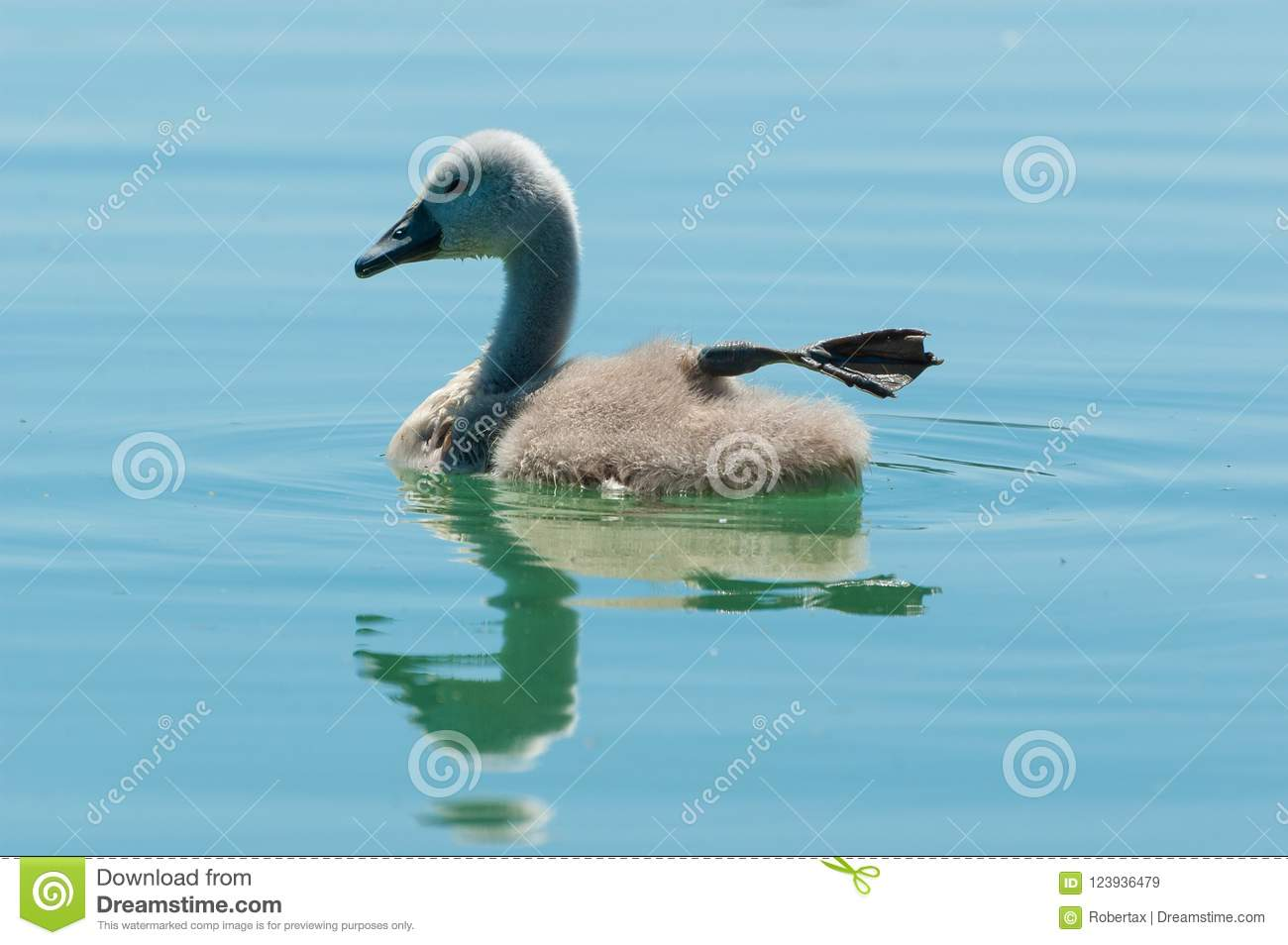 Young swan swimming in the calm water with visible reflection