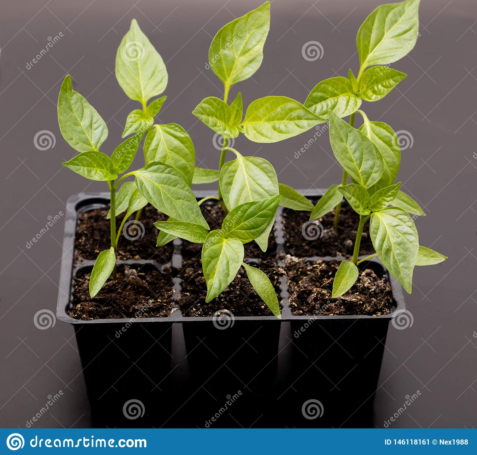 Young sweet pepper plant