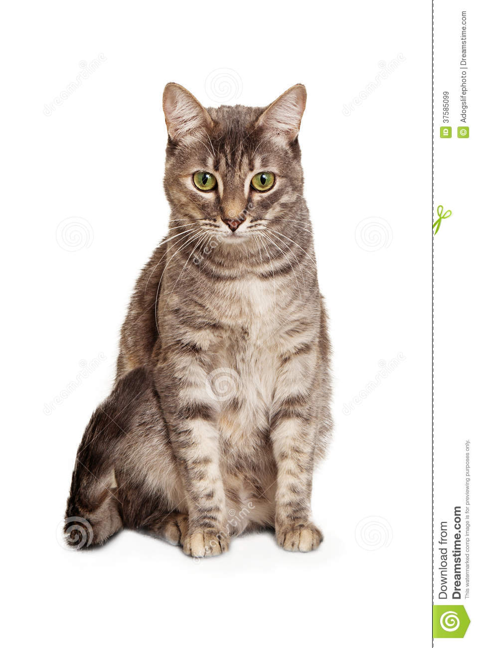 Young Tabby Cat Sitting Looking Down Royalty Free Stock ... Tabby Cat Sitting Up