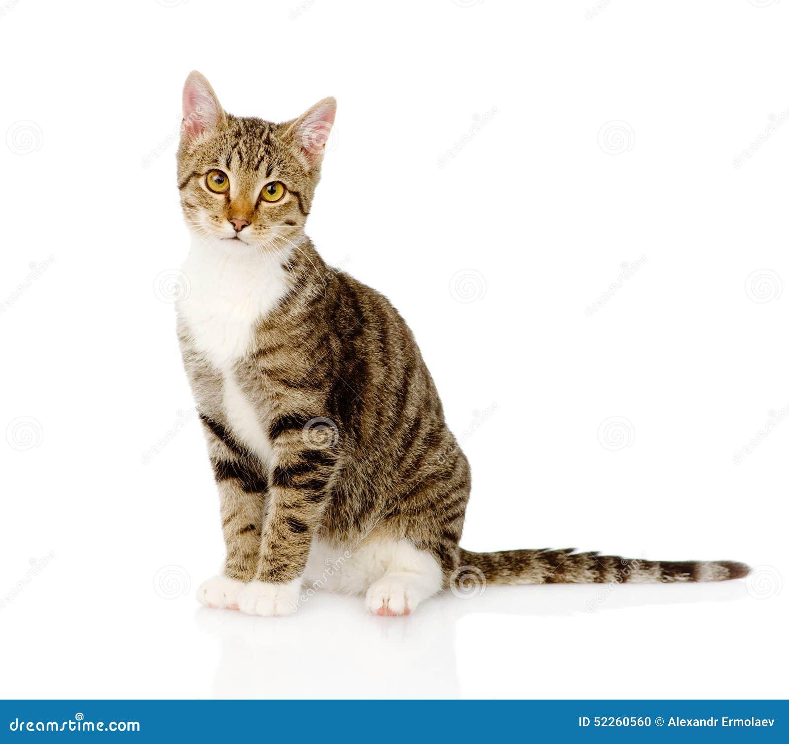 pallas cat domesticated