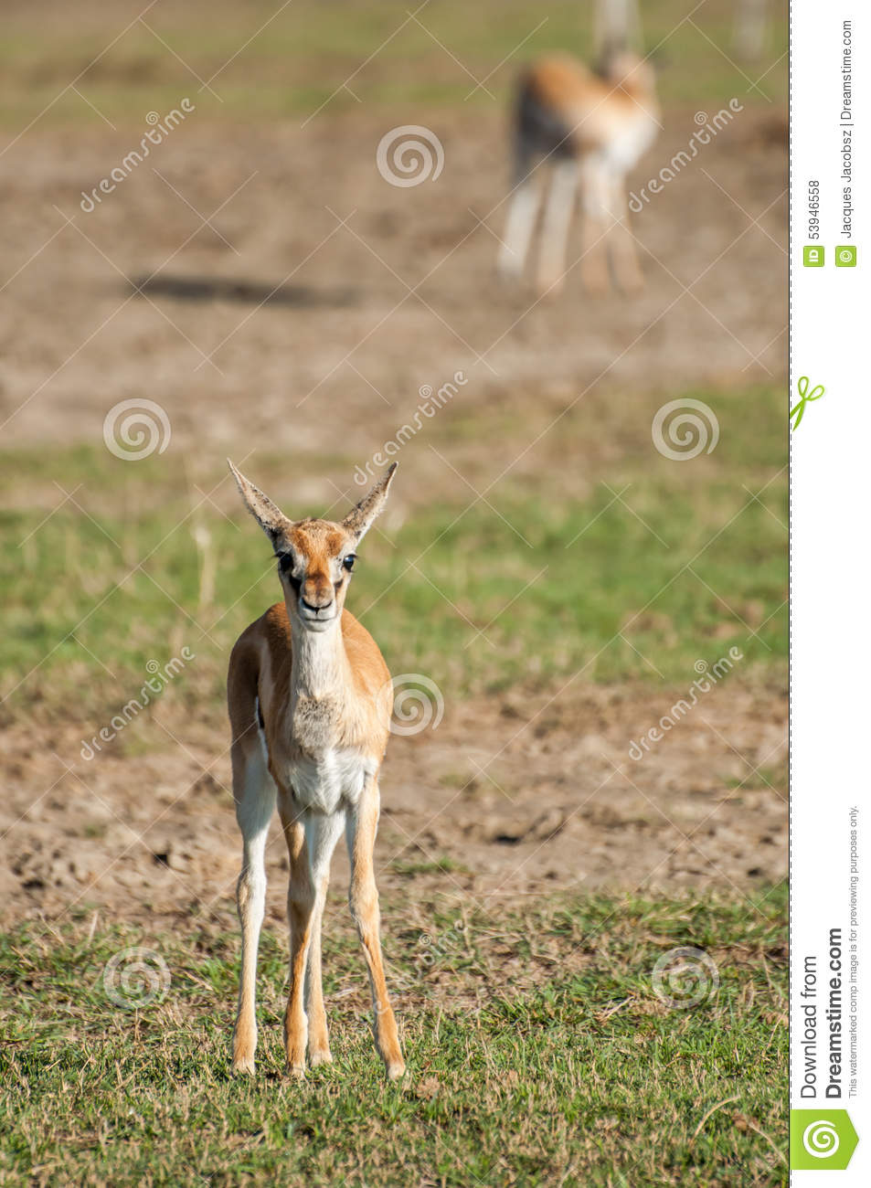 Young Thomson Gazelle Stock Photo - Image: 53946558
