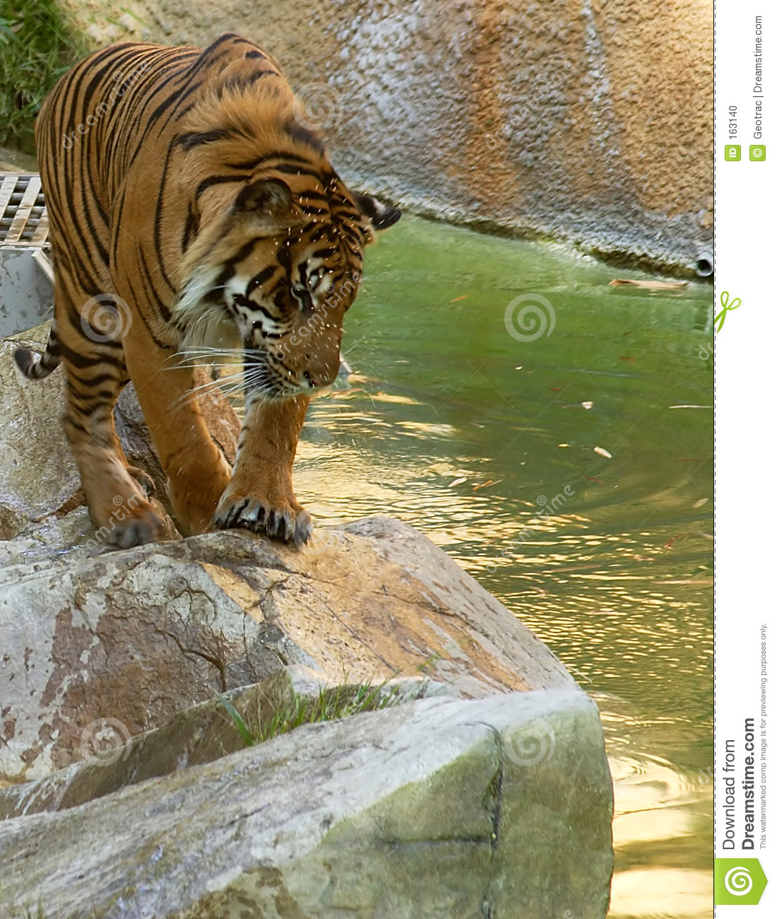 Young tiger looking at the water