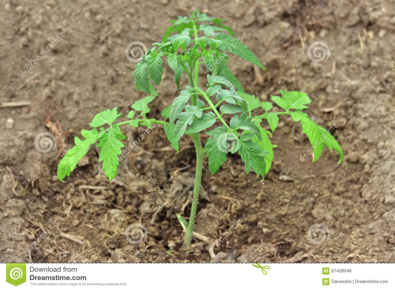 photo tomato garden stock legal image protection