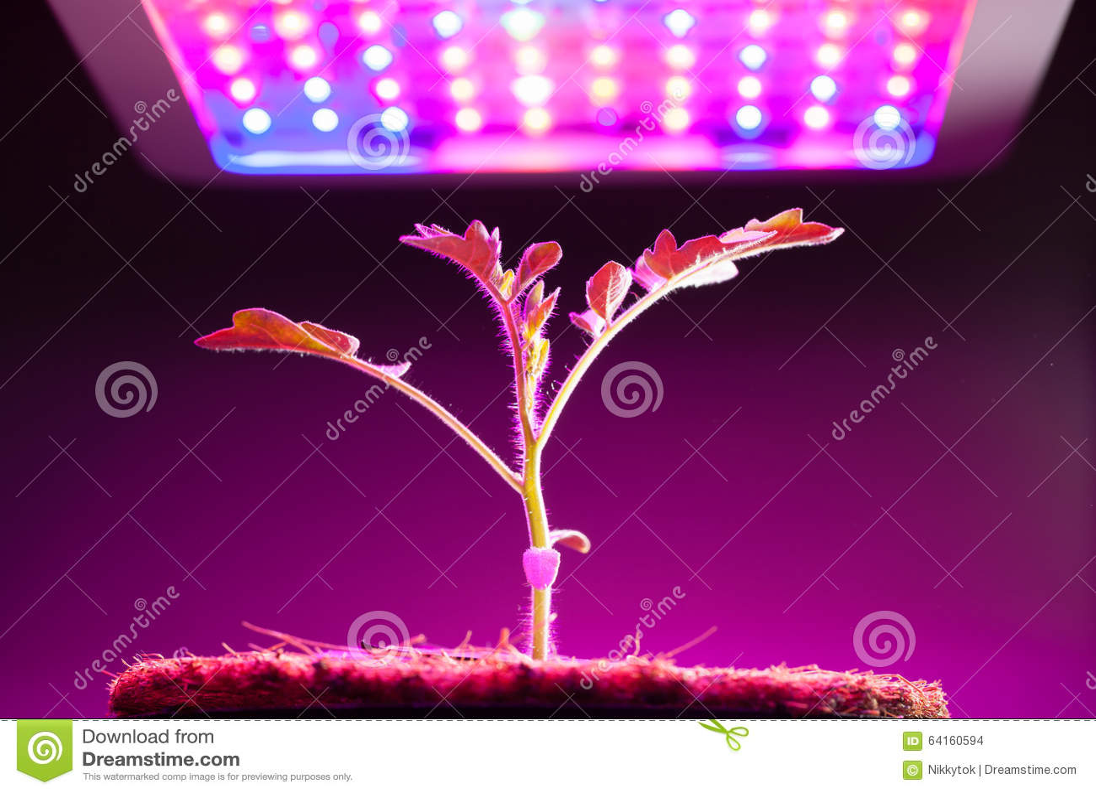 Young Tomato Plant Under Led Grow Light Stock Photo Image