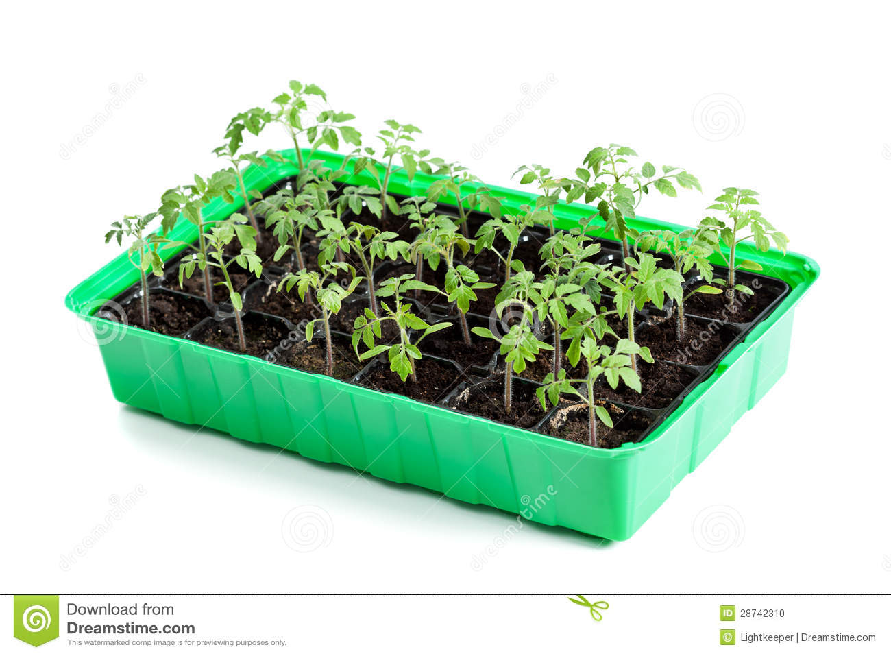 Young Tomato Plants In Germination Tray Stock Photo