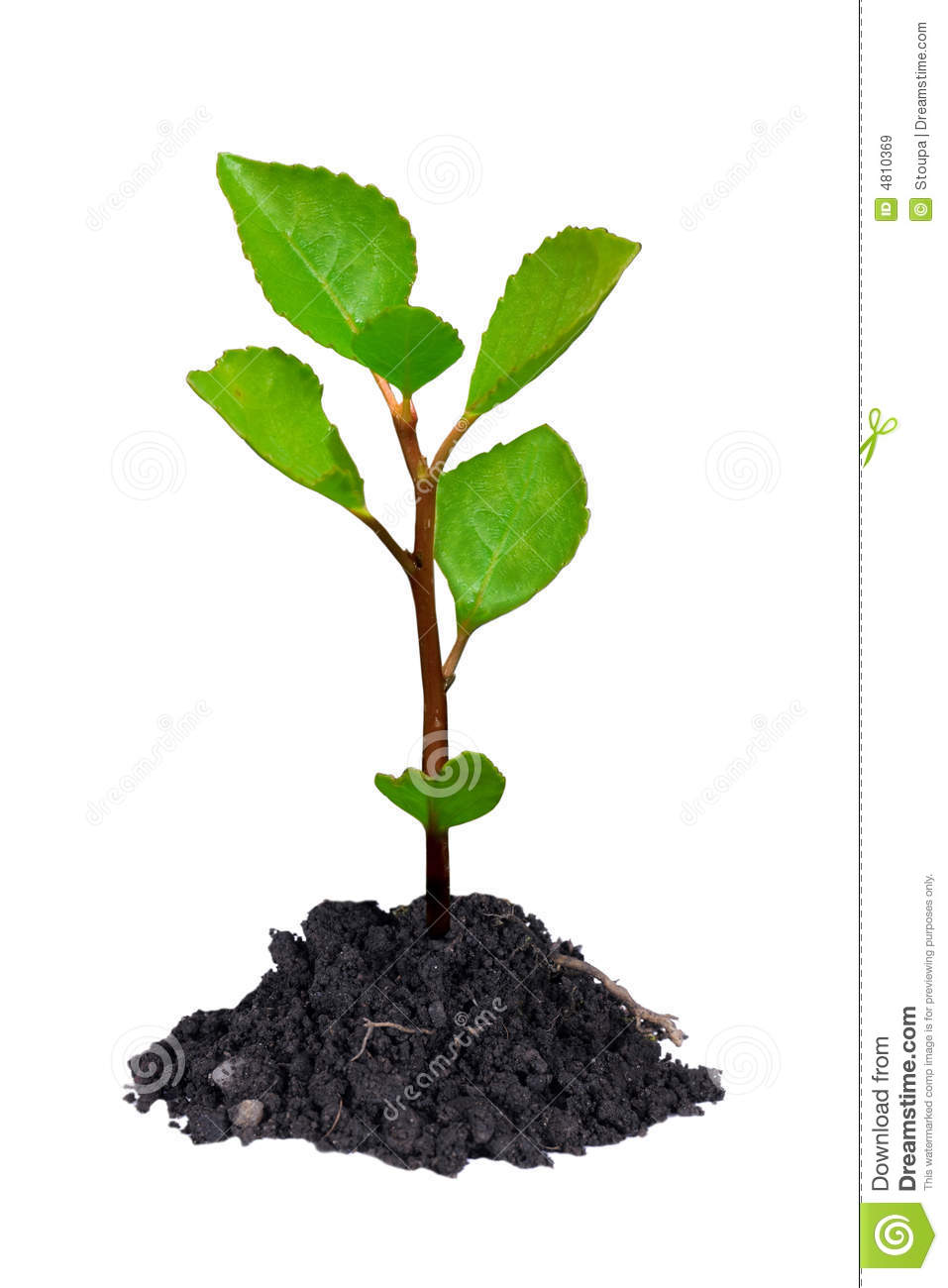Young growing little tree with chunk of earth isolated on white
