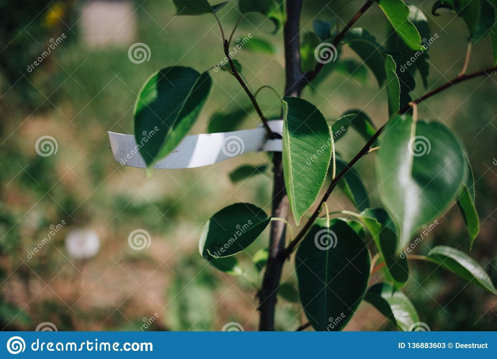 young tree pears with empty label, planting fruit trees in