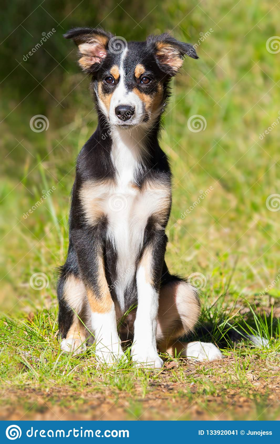 Young Tricolor Border Collie Dog Stock Image - Image of canine