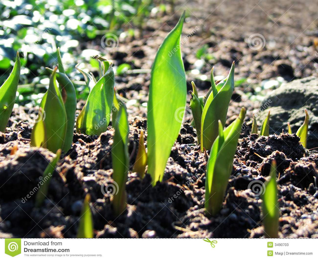 Young Tulip Plants Growing Stock Photos Image 3490703