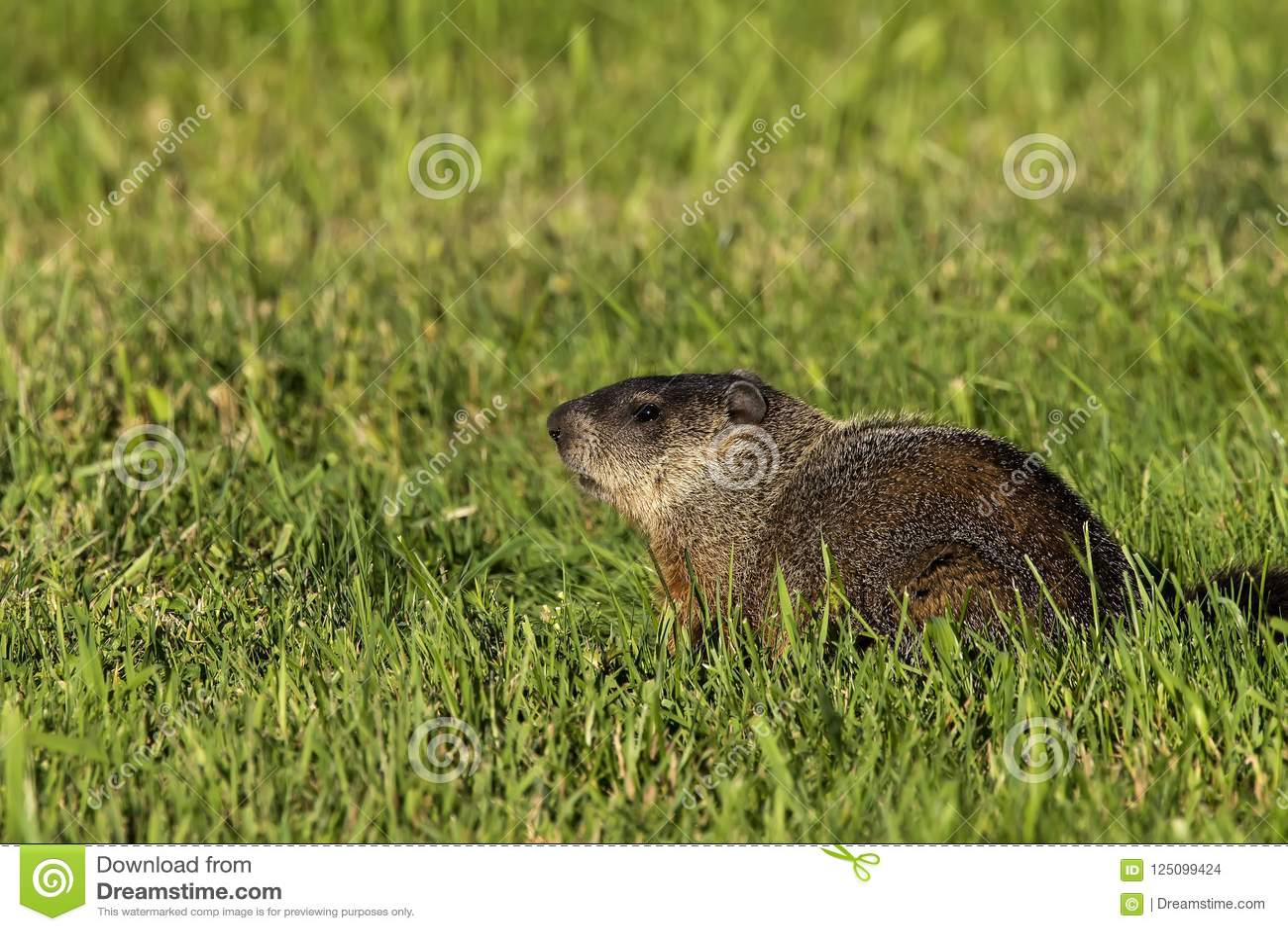 The groundhog Marmota monax woodchuck