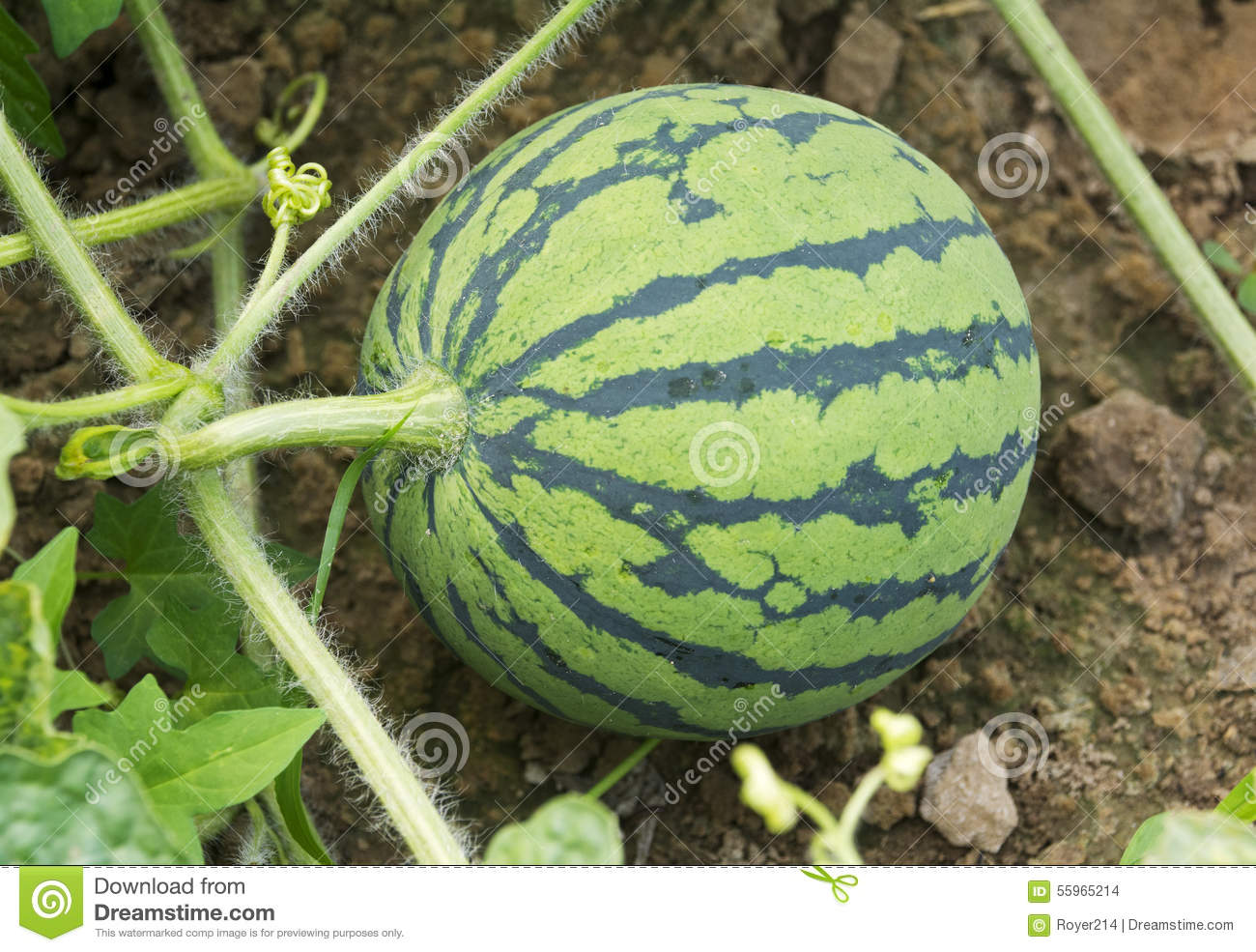 Download Young Watermelon stock photo. Image of fruits, leaves - 55965214