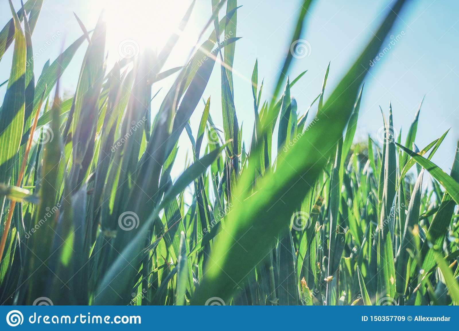 Young Wheat Seedlings Growing in a Field Close up