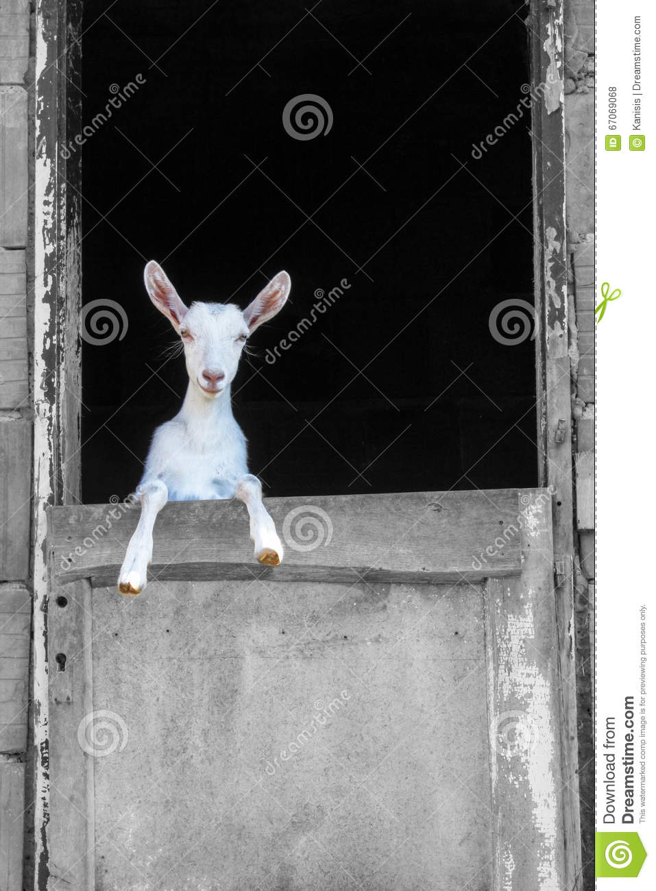Young White Goat Standing On The Barn Door Stock Photo Image Of