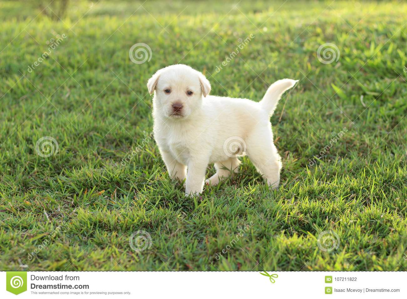 Young White Puppy Stock Photo Image Of Guinea Cute 107211822