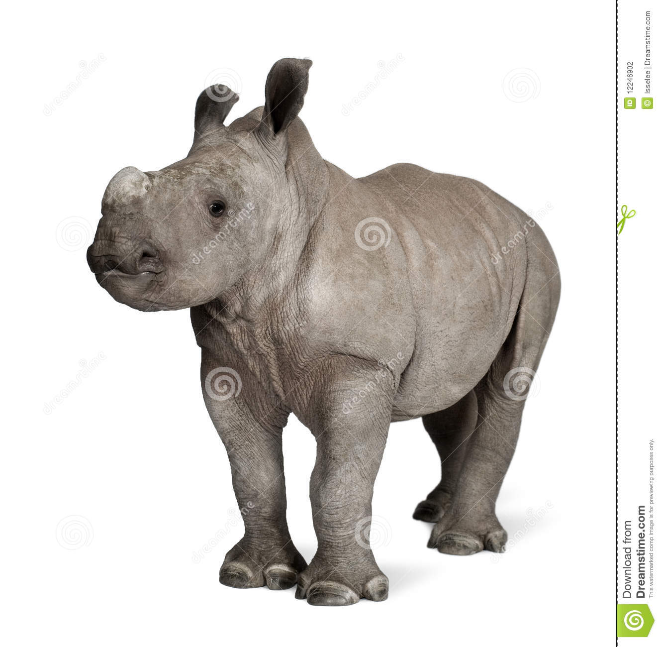 Young White Rhinoceros against white background