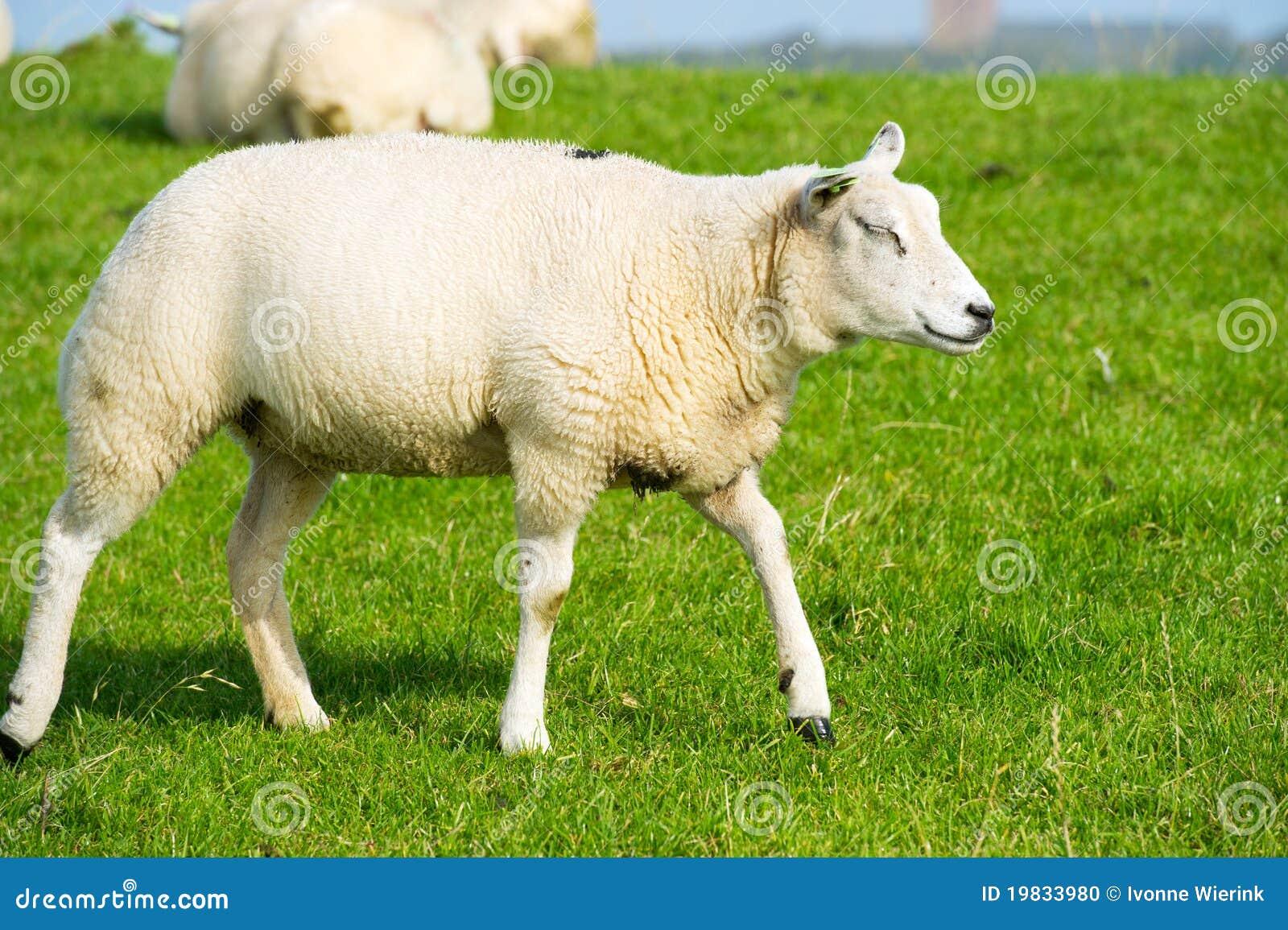 White sheep - photo#24