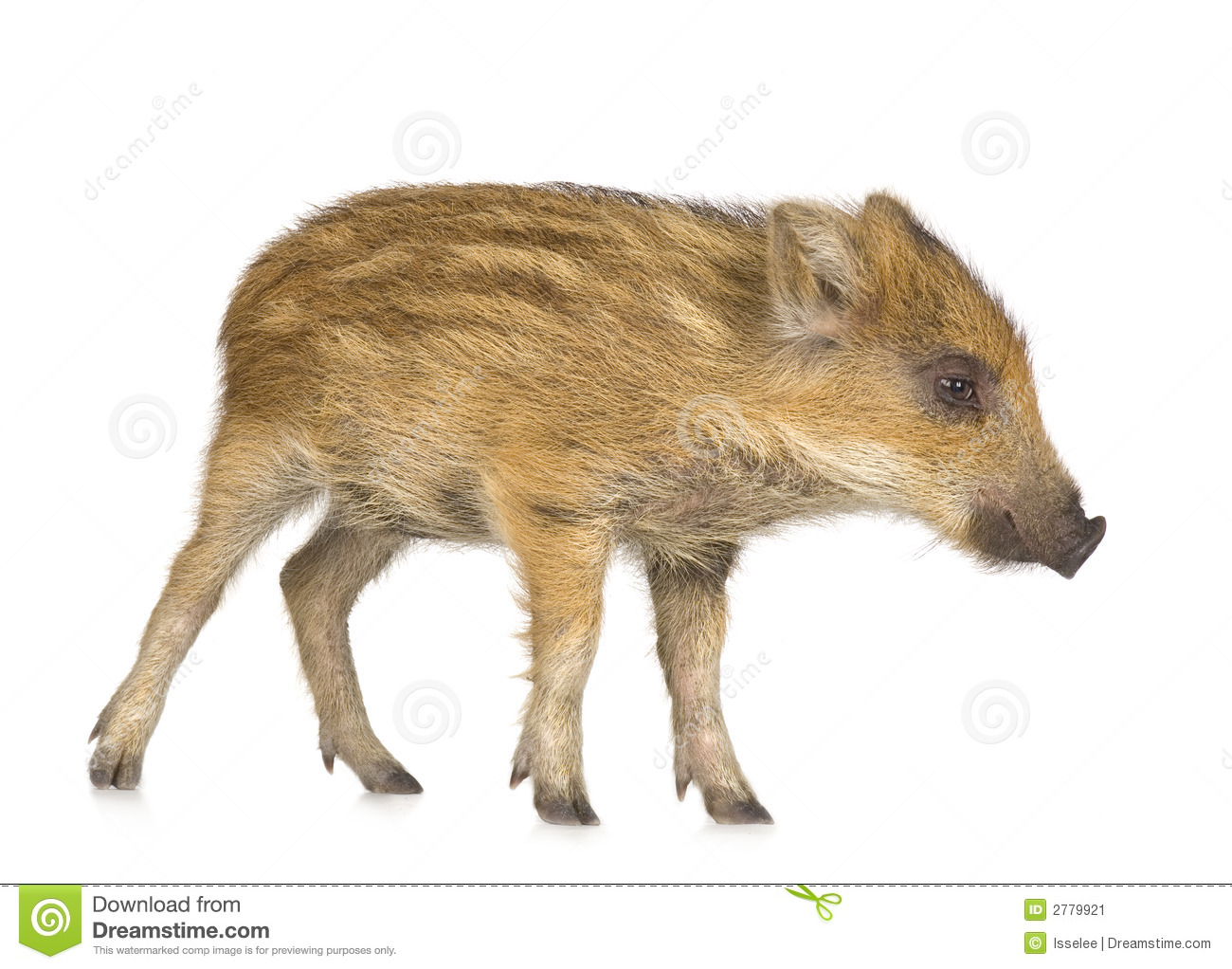 Young Wild Boar ( 7 Weeks ) Stock Image - Image: 2779921